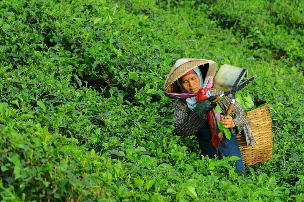 Die Blätter des Tees werden noch immer in mühevoller Handarbeit gezupft. Bildquelle: © Danurwendho Adyakusuma / Unsplash.com