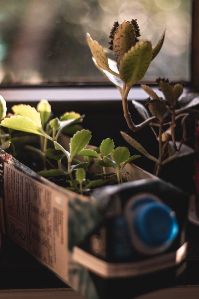 Alte Mich- oder Safttüten können ganz wunderbar für das heranziehen von Setzlingen genutzt werden. Bildquelle: © Noah Eleazar / Unsplash.com