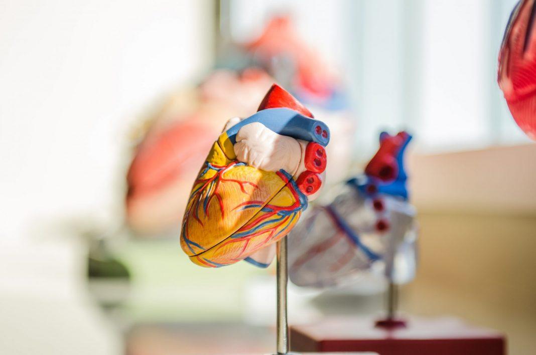 Das Herz ist neben dem Gehirn eines der zentralen Organe in unserem Körper. Bildquelle: © Jesse Orrico / Unsplash.com